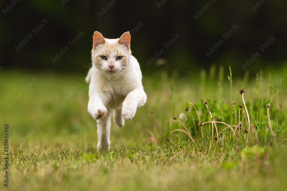 Fototapety, obrazy: Cute White Pet Cat Having Fun and Running Through Long Grass
