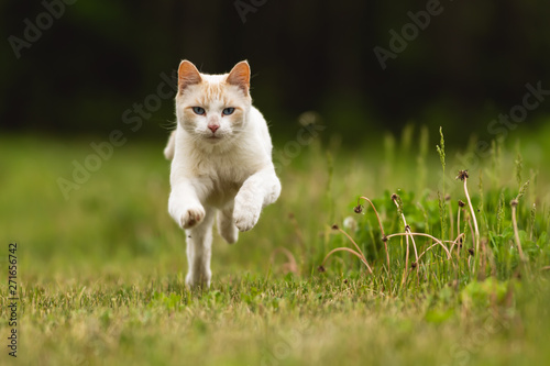 Cute White Pet Cat Having Fun and Running Through Long Grass - 271656742