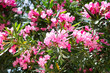 canvas print picture Pink oleander or Nerium flower blossoming on tree. Beautiful colorful floral background