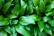Green hosta lancifolia leaves natural background