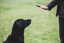 A Dog Trainer Giving A Hand Command To Black Labrador Dog.,Dog Training School