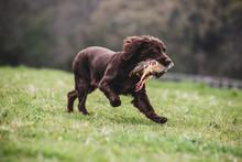 Brown Spaniel Dog Running Across A Field, Retrieving Pheasant.,Dog Training School