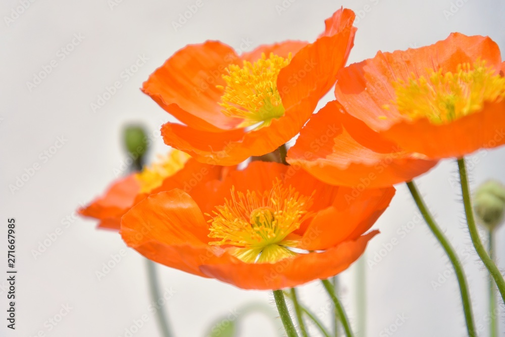Beautiful orange poppy flowers with selective focus on blurred background. Bunch of delicate wildflowers with tender orange petals and yellow stamens. Bouquet of bright spring flower. Summer flowerbed