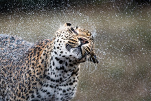 Close Up Of Leopard Shaking Water Off