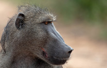 The Side Profile Of The Head Of A Baboon, Papio Ursinus, Looking Out Of Frame	,Londolozi Game Reserve