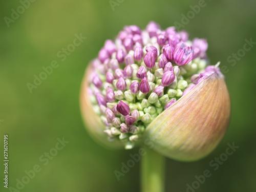 Leinwand Poster Zierlauch Blüte