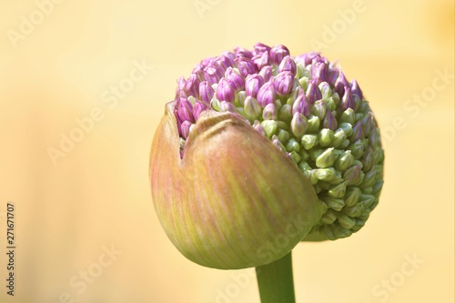 Allium, Zierlauch Knospe Fototapete