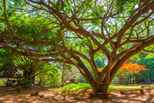 Kenya. Africa. Delonix Royal Tree. A Large Tree With A Spreading Crown. Kenyan Tropical Trees. African Plants. Nature Kenya.