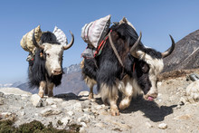 Nepal, Solo Khumbu, Everest, Chukkung, Yaks Carrying Provisions