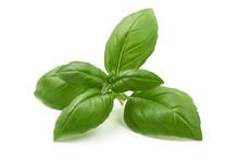 Fresh Organic Basil Leaves, Close-up, Isolated On White Background