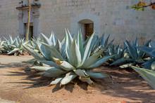 Magueyes En México