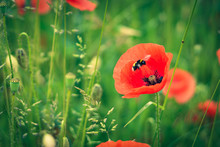 Red Poppy And Bee In A Field