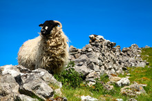Sheep Standing Amongst The Ruins Of An Old Dry Stone Wall In Ribblesdale Yorkshire Dales England