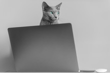 Beautiful Russian Blue Cat With Funny Emotional Muzzle Sitting On Keayboard Of Notebook Relaxing In Home Interior On Gray Background. Breeding Adorable Gray Kitten With Blue Eyes Resting On Laptop.