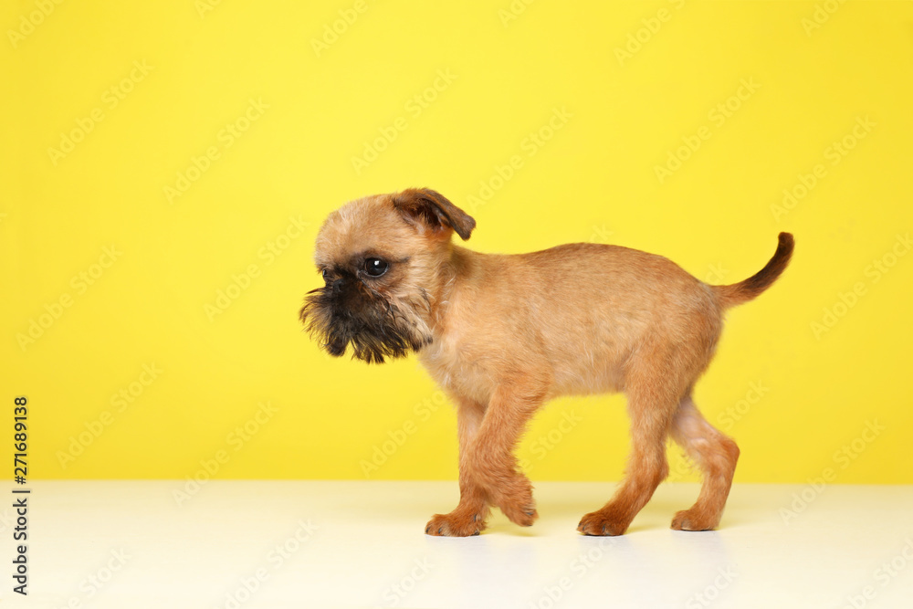 Studio portrait of funny Brussels Griffon dog on color background