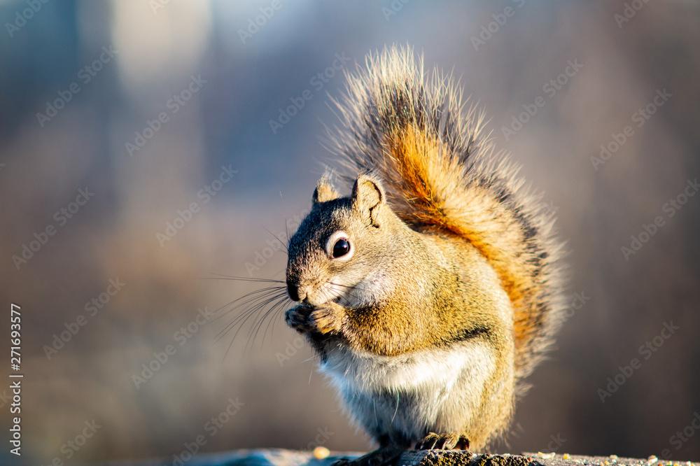 Fototapeta Friendly squirrel