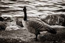 Canada Geese By The Water