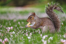 Squirrel Eating Peanut While Sitting In Grass