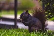 Black Squirrel Eating Peanut