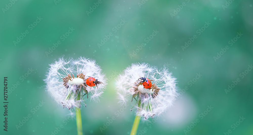 two ladybugs on white fluffy dandelions. beautiful green outdoors scene with lovely ladybugs in summer nature close up. Gentle artistic image of wildlife insects. copy space <span>plik: #271704791 | autor: Ju_see</span>
