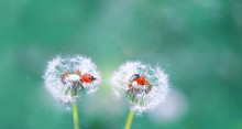 Two Ladybugs On White Fluffy D...
