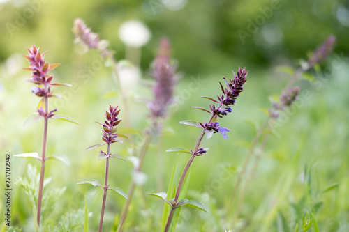 Aluminium Prints Butterfly Wild meadow flower purple close-up. Ecology nature concept. Blooming fields