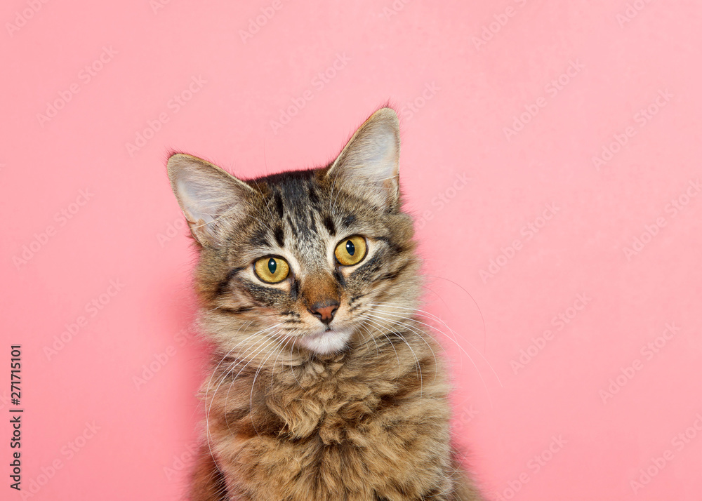 Fototapeta portrait of a curios long haired black and tan tabby cat with bright yellow eyes looking at viewer. Pink background with copy space