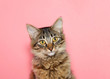 canvas print picture - portrait of a curios long haired black and tan tabby cat with bright yellow eyes looking at viewer. Pink background with copy space