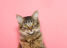Portrait Of A Curios Long Haired Black And Tan Tabby Cat With Bright Yellow Eyes Looking At Viewer. Pink Background With Copy Space