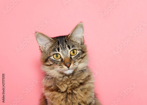 Obraz na plátně  portrait of a curios long haired black and tan tabby cat with bright yellow eyes looking at viewer