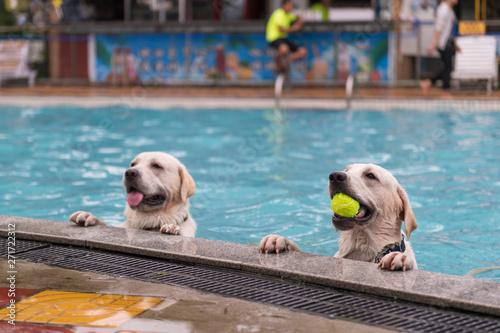 Two Labrador Retrievers kneeling by the pool