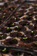 Organic seedling or sapling lettuces in the field, lettuce cultivation, green leaves