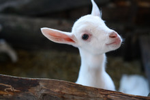 A White Baby Goat. Beautiful Cute Baby Goat Kid