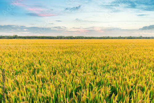 Fotografia Ripe rice field and sky background at sunset time with sun rays