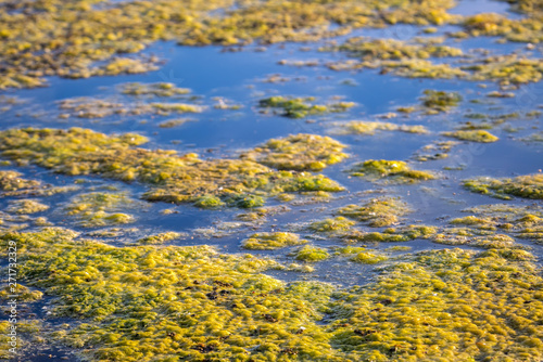 Photo Slimy, green floating water algae on the pond surface