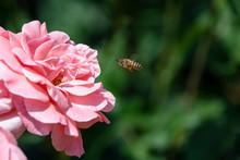 ミツバチとバラ