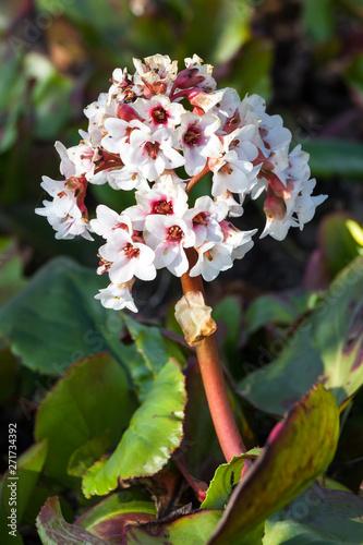 Bergenia x schmidtii a spring pink perennial rhizomatous flower plant commonly k Canvas Print