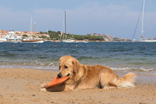 Golden Retriever Playing With ...