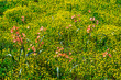 canvas print picture - Wildflowers, Hantam National Botanical Garden, Nieuwoudtville, Namaqualand, Northern Cape province, South Africa, Africa