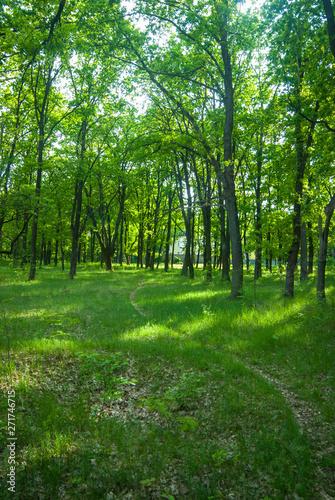 Spoed Foto op Canvas Green oak tree in spring forest