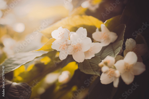 close up of jasmine flowers in a garden Canvas Print