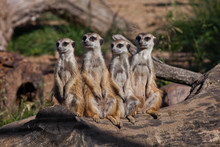 A Strong Company, The Group Form A System.  African Animals Meerkats (Timon) Look Attentively And Curiously.