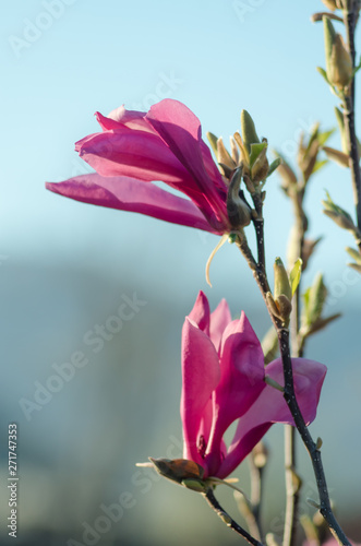 Photo Stands Bird Young pink magnolia. Magnolia flower on magnolia Tree. Magnolia tree garden, beauty pink flower.