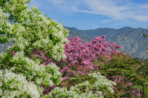 Poster Fleur Handroanthus impetiginosus tree blossom