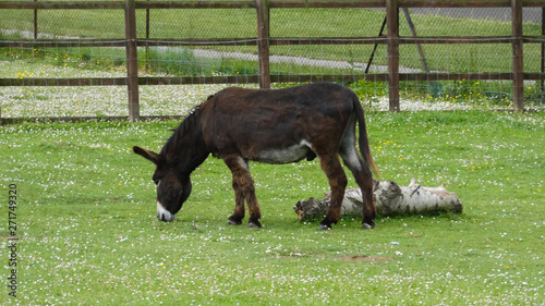 Fotografie, Tablou Donkey in an English meadow (1b)