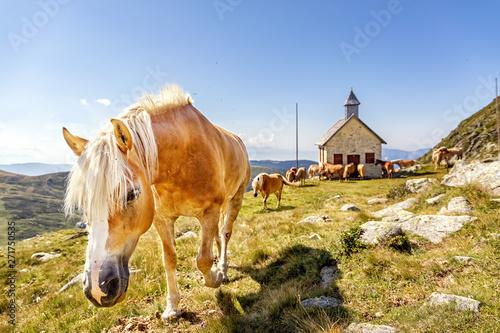 Horses on Alpine Pasture, Haflinger, Merano, South Tyrol, Italy, xxl+more: bartussek.xmstore