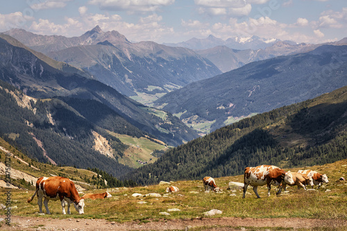 Cattle in the Alps, Fleckvieh, near Meran, South Tyrol, Italy, xxl+more: bartussek.xmstore