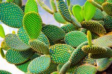 Close Up Of Opuntia Rufida