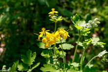 Flowers Of Yellow Celandine In Forest. Chelidonium Majus, (commonly Known As Greater Celandine, Nipplewort, Swallowwort, Or Tetterwort)