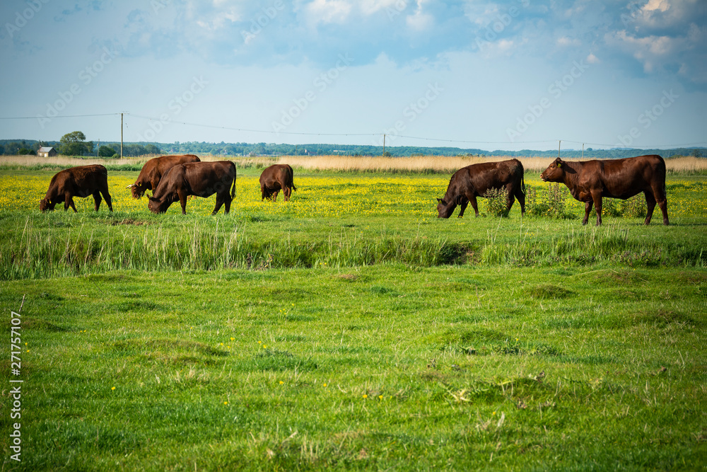 Fototapeta Cattle grazing in rural setting in southern England